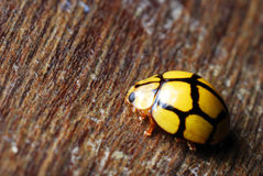 Free Yellow Lady Bug Royalty Free Stock Photos - 14912478