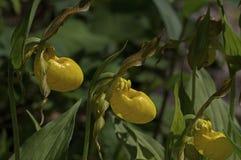 Yellow Lady Slipper Stock Image