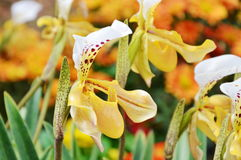 Yellow lady slipper orchid blooming in garden Royalty Free Stock Photos