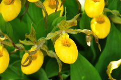 Yellow Lady Slipper Orchids Royalty Free Stock Photography