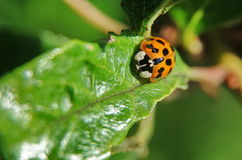 Yellow ladybird Stock Photo