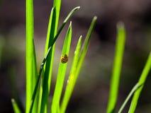 Yellow ladybird on grass blade. Macro of ladybug (Coccinellidae) climbing on grass backlit by morning sun Royalty Free Stock Photos