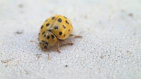 Yellow ladybug leaving the frame stock footage