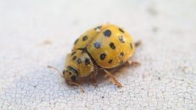 Yellow ladybird stretching its body stock video