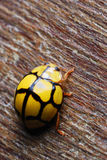 Yellow Ladybug. A macro photo taken on a yellow black lady bird Stock Images