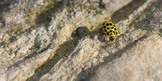 Yellow ladybug Stock Photo