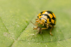 Yellow Ladybug Royalty Free Stock Images