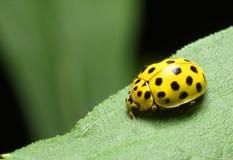 Yellow Ladybug. On green leaf Royalty Free Stock Photo