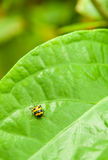 Yellow ladybug Royalty Free Stock Images