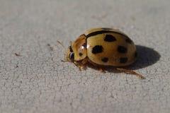 Yellow ladybug royalty free stock image