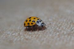 Yellow Ladybug crawling on tissue macro Stock Photo