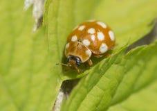 Yellow ladybug. Royalty Free Stock Photo