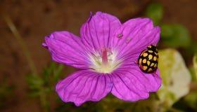 Yellow ladybug on purple flower Stock Photos