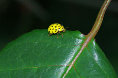 Yellow ladybug Royalty Free Stock Photo