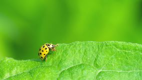 Ladybug in the grass. Yellow Ladybug on the strawberry leaf stock video footage