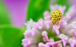 Yellow ladybug on violet flowers Stock Image