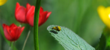 Yellow ladybugs in love Royalty Free Stock Photos