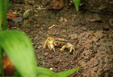 The yellow land crab (Gecarcinus Lagostina) Royalty Free Stock Photos