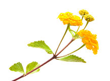 Yellow Lantana Royalty Free Stock Photography