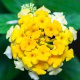 Yellow Lantana camara flowers Stock Photos