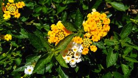 Yellow lantana flower. Lantana is a genus of about 150 species of perennial flowering plants in the verbena family, Verbenaceae. The generic name originated in stock photography