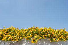 Yellow lantana flower upon the wall Stock Photos