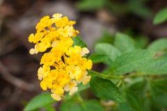 Yellow Lantana flowers Stock Images