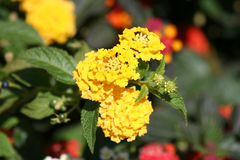 Yellow Lantana Flowers Stock Image
