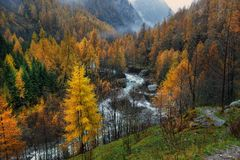 Yellow larch in autumn stock photography