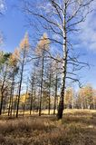 Yellow larch and birch trees illuminated by the sun in the autumn forest royalty free stock photo