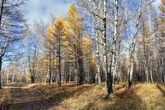 Yellow larch and birch trees illuminated by the sun in the autumn forest royalty free stock images