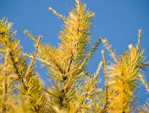 Yellow larch branches. Shiny day Stock Photography