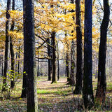 Yellow larch and dark oak trees in urban park Royalty Free Stock Images