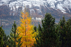 Yellow larch among the green firs Royalty Free Stock Image