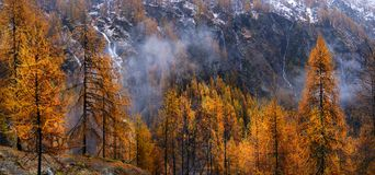 Free Yellow Larch In Autumn Royalty Free Stock Photography - 101185997