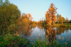 Yellow larch on shore of the pond . royalty free stock images