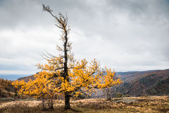 Yellow larch tree in the mountains. Autumn landscape Royalty Free Stock Photos