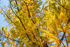 Yellow larch tree in the mountains. Autumn landscape. Small depth of sharpness Stock Images