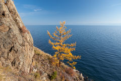 Yellow larch-tree near Lake Baikal Stock Images