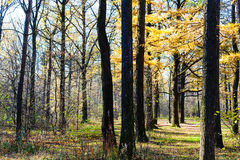 Yellow larch tree in urban park in autumn Royalty Free Stock Photo