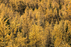 Yellow larch trees in the fall. Photographed in Banff National Park, Alberta, Canada Royalty Free Stock Photo