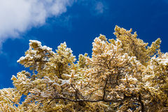 Yellow larch under snow Stock Photos