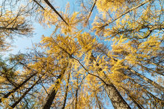 Yellow larches in the autumn Stock Photography