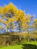 Yellow larches, autumn Royalty Free Stock Photos