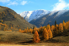 Yellow larches on a background of mountains Stock Photos