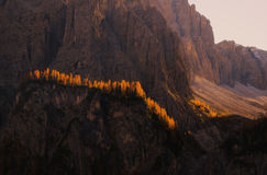 Yellow larches backlighted by rising sun, Dolomites, Italy Royalty Free Stock Photos