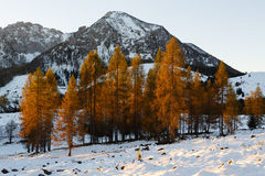 Yellow larches illuminated by the morning sun Royalty Free Stock Photo