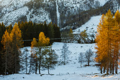 Yellow larches illuminated by the morning sun Royalty Free Stock Photos