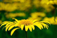Yellow large garden daisies on a green background in spring Royalty Free Stock Image