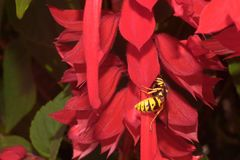 Yellow large wasp on red flower. Yellow striped wasp sits on a red flower royalty free stock photo